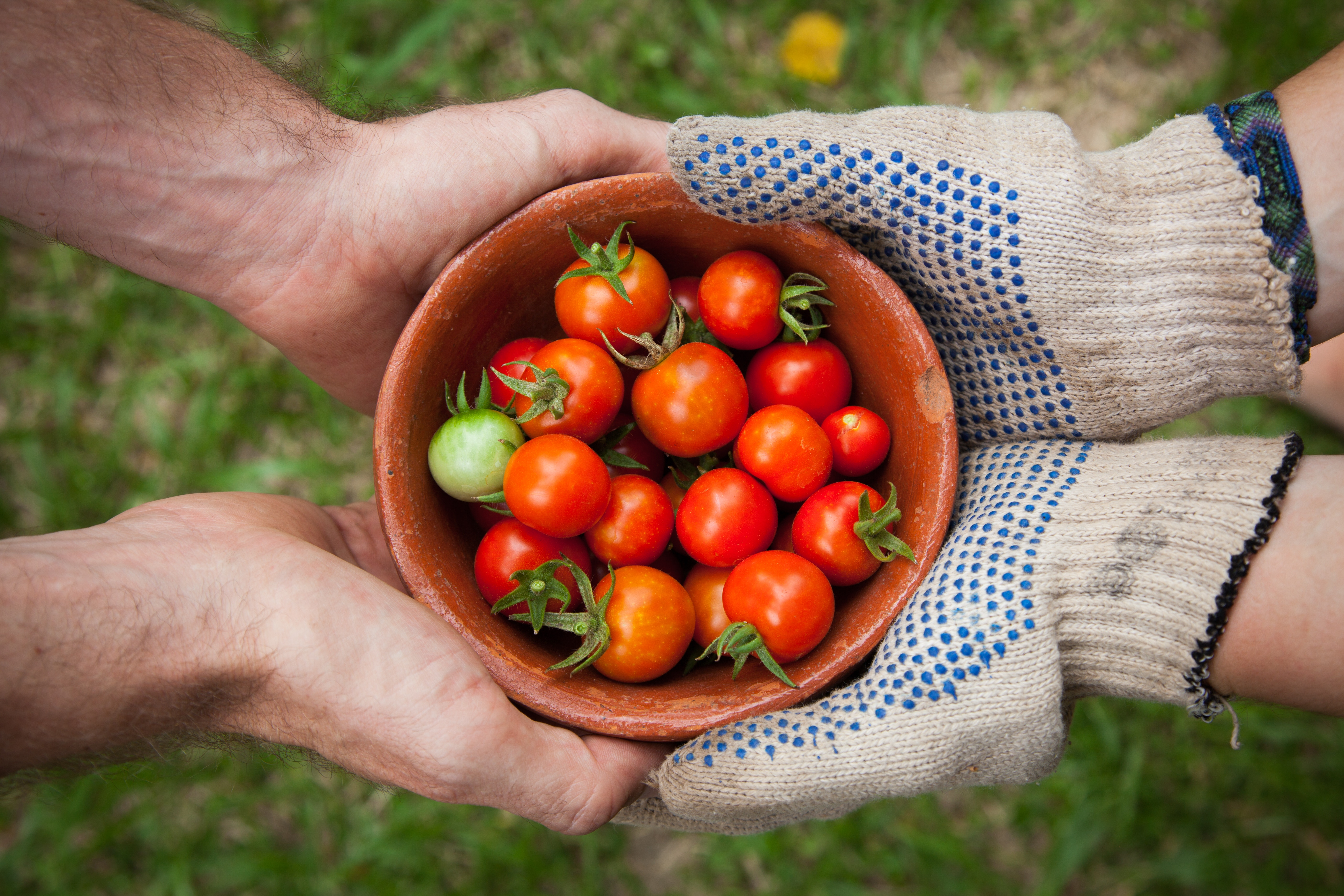 Hands and Tomatoes
